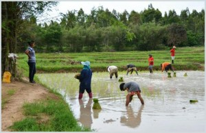 Rice farming in Isaan